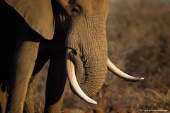 The Whistleblower (leendert3) Tags: leonmolenaar southafrica krugernationalpark wildlife wilderness wildanimal nature naturereserve naturalhabitat mammal africanelephant ngc npc naturethroughthelens
