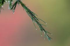 Christmas is just around the corner (ukthunderace) Tags: alpine pine tree drops red green bokeh