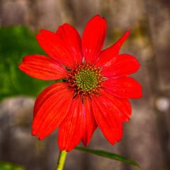 Blossom -62- (Jan 1147) Tags: blossom bloei bloem bloemen flower flowers natuur nature depinte belgium