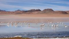Flamingos on the lake (Chemose) Tags: sony ilce7m2 alpha7ii mai may bolivie bolivia paysage landscape désert montagne mountain andes sudlipez southernlipez desert lac lake lagunaqara flamant flamingo oiseau bird lipez qara eau water
