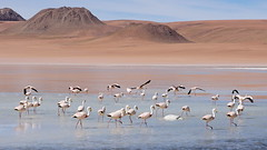 The flamingos ring (Chemose) Tags: sony ilce7m2 alpha7ii mai may bolivie bolivia paysage landscape désert montagne mountain andes sudlipez southernlipez lipez desert lagunaqara qara lac lake flamant flamingo oiseau bird eau water