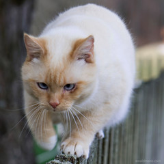 mister blue eyes on the fence (ewaldmario) Tags: österreich katze nasswald schwarzauimgebirge cat fence pet cute animal fur paw nikon acrobat blueeye animalportrait animalcloseup ewaldmario