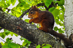 Up in the tree (thore.bryhn) Tags: squirrel animal