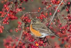Merle d'Amérique (F) - American Robin (F) (Lucie.Pepin1) Tags: birds oiseaux merle robin nature wildlife faune fauna canon7dmarkii canon300mml luciepepin