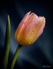 Drops (Magda Banach) Tags: nikond850 blackbackground colors drops flora flower green macro multicolored nature pink plants tulip yellow