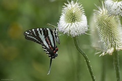 Butterfly 2019-175 (michaelramsdell1967) Tags: butterfly butterflies nature macro animal animals insect insects green black white zebra swallowtail beauty beautiful red pretty lovely delicate detail fragile upclose closeup meadow bokeh bug bugs garden thistle zen