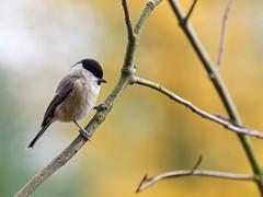 Mésange nonnette (Nicopope) Tags: mésange mésanges nonnette oiseaux oiseau branches birds bird vögle vogel nikon fantasticnature fantastic nature