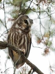 ''Le profil!'' petite nyctale-Northern saw-whet owl (pascaleforest) Tags: canada quebec faune wildlife wild nature nikon passion owl animal bird oiseau