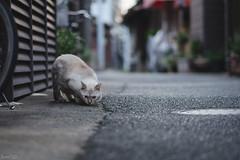 猫 (fumi*23) Tags: ilce7rm3 sony sel85f18 emount 85mm fe85mmf18 a7r3 animal alley street tokyo cat chat gato neko ねこ 猫 ソニー 東京 台東区 谷中 路地