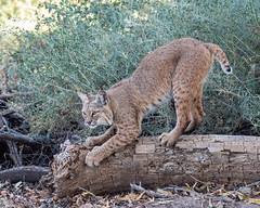 Scratching (dan.weisz) Tags: bobcat wildcat mammal tucson sweetwaterwetlands