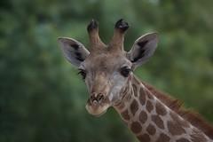 Girafa (Carlos Santos - Alapraia) Tags: girafa ngc flickrcentral ourplanet animalplanet canon nature natureza wonderfulworld highqualityanimals unlimitedphotos fantasticnature