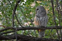 Taking Shelter (hd.niel) Tags: owls raptor wildlife photography nature photos ontario nikon720080400 160 400mm iso900 barredowl