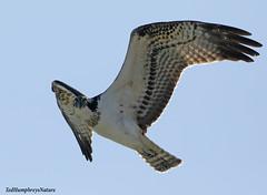 Osprey stare over lagoon at El Hondo today (Ted Humphreys Nature) Tags: osprey raptors eagles birdsofprey spain elhondo predators ospreys tedhumphreysnature