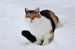 Åsta Wild..... (KvikneFoto) Tags: katt cat snø snow winter vinter tamron nikon åsta