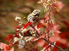 Song Sparrow (Anne Ahearne) Tags: wild bird autumn fall colorful leaves nature wildlife songbird birdwatching songsparrow bokeh feeding