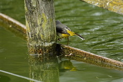Chester Zoo (536) (rs1979) Tags: greywagtail wagtail chesterzoo zoo chester