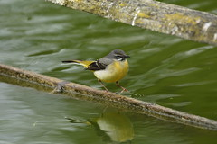 Chester Zoo (531) (rs1979) Tags: greywagtail wagtail chesterzoo zoo chester