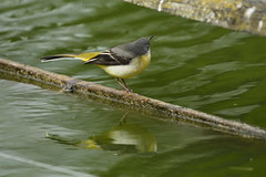 Chester Zoo (530) (rs1979) Tags: greywagtail wagtail chesterzoo zoo chester