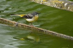 Chester Zoo (529) (rs1979) Tags: greywagtail wagtail chesterzoo zoo chester