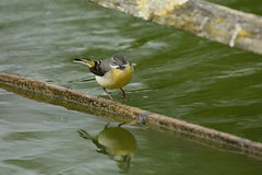 Chester Zoo (526) (rs1979) Tags: greywagtail wagtail chesterzoo zoo chester