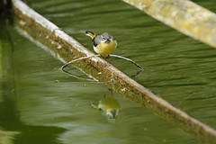 Chester Zoo (514) (rs1979) Tags: greywagtail wagtail chesterzoo zoo chester