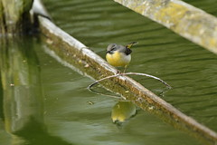 Chester Zoo (513) (rs1979) Tags: greywagtail wagtail chesterzoo zoo chester
