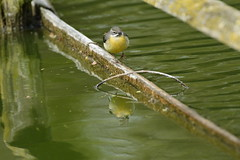 Chester Zoo (510) (rs1979) Tags: greywagtail wagtail chesterzoo zoo chester