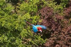 (Carlos Santos - Alapraia) Tags: arara ngc flickrcentral ourplanet animalplanet canon nature natureza wonderfulworld highqualityanimals unlimitedphotos fantasticnature birdwatcher ave bird pássaro voo flight