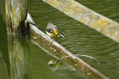 Chester Zoo (477) (rs1979) Tags: greywagtail wagtail chesterzoo zoo chester