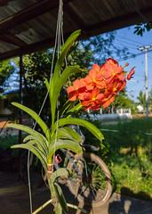 Vanda sp. Orchidaceae- orange Vanda orchid 10e (SierraSunrise) Tags: thailand phonphisai nongkhai isaan esarn plants flowers orchids orchidaceae epiphytes hanging orange vanda