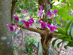 Unidentified purple and white orchid 6 (SierraSunrise) Tags: thailand phonphisai nongkhai isaan esarn plants flowers orchids orchidaceae epiphytes hanging purple