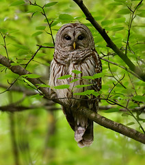 BarredOwl1 (2)Smaller (2) (Rich Mayer Photography) Tags: barred bard owl owls owlet animal animals nature wild life wildlife perch fly flying flight bird birds nikon