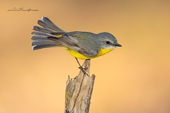 Eastern Yellow Robin (Chris Morecrofts - Australian Bird Images) Tags: green canonaustralia chris australianbirdimages australian australiangeographic nature morecroft eastern yellow robin tenterfield birds birdpictures beautiful nationalgeographic instagram outback queensland