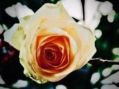 rose (delnaet) Tags: rose roos rosa flor flores flora bloem fleur flower fantasticnature