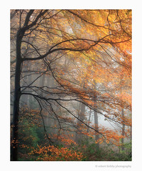 Forest Fire (calderdalefoto) Tags: calderdale westyorkshire halifax england uk autumn beech tree trees yorkshire