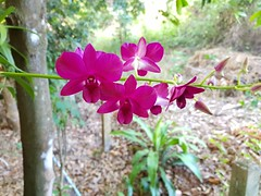 Unidentified purple orchid 1 (SierraSunrise) Tags: thailand phonphisai nongkhai isaan esarn plants flowers orchids orchidaceae epiphytes hanging purple