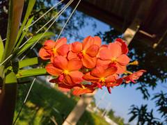 Vanda sp. Orchidaceae- orange Vanda orchid 9e (SierraSunrise) Tags: thailand phonphisai nongkhai isaan esarn plants flowers orchids orchidaceae epiphytes hanging orange vanda