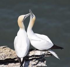 Gannets (MJ Harbey) Tags: gannets seabird bird morus aves suliformes sulidae rspb rspbbemptoncliffs bemptoncliffs yorkshire eastridingofyorkshire bridlington nikon d3300 nikond3300