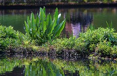 A lush island. (tony allan tony allan) Tags: nature naturalworld water pond park nikond5300 leaves plants reflection
