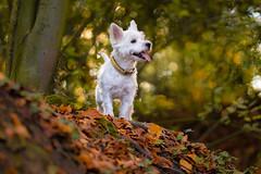 Strolling through the autumn forest (VintageLensLover) Tags: wald herbst november goldenerherbst natur outdoor laub hund terrier pippa westie westhighlandwhiteterrier ilovemydog sigmaart135mmf18 sigmaart sonya7iii