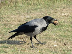 Hooded crow with a walnut. (Vitaly Giragosov) Tags: corvuscornix hoodedcrow crimea sevastopol russia сераяворона севастополь крым рф