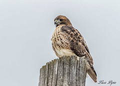 Buse à queue rousse -  Red-tailed Hawk (Lucie.Pepin1) Tags: oiseaux birds buse hawk nature wildlife faune fauna canon7dmarkii canon300mml luciepepin