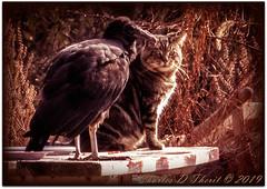 The Vulture and the Cat (ctofcsco) Tags: 130 1d 1dmark4 1dmarkiv 1div 600mm aperturepriorityae canon canonef300mmf28lisiiusmortamronlens didnotfire digital ef300mmf28lisiiusm20x eos eos1d eos1dmarkiv esplora evaluative explore explored f640 flashoff iso12800 mark4 markiv nature northamerica photo pic pretty renown usa wildlife