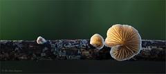 small - smaller - smallest (klaus.huppertz) Tags: frankenbach natur nature outdoor outside pilz mushroom fungus houby fungi funghi mycophyta mycobiont mycet stummelfüschen oysterling crepidotus makro macro stack stacking dof focusstacking nikon d850 zeiss milvus lamelle gill mycology mykologie