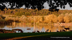 Sunset Deer (My Planet Experience) Tags: red deer herd cervuselaphus doe hind stag fawn elk forest pond sunset wild wildlife mammal animal landscape nature natural nopeople day horizontal france f myplanetexperience wwwmyplanetexperiencecom