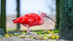 Red Ibis - 7716 (✵ΨᗩSᗰIᘉᗴ HᗴᘉS✵85 000 000 THXS) Tags: ibis bird red redibis oiseau pairidaiza nature belgium europa aaa namuroise look photo friends be yasminehens interest eu fr party greatphotographers lanamuroise flickering sony sonyilce7 sonyrx10m3