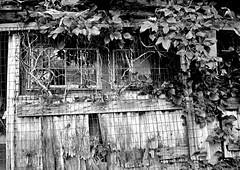 Vine View (pjpink) Tags: rustic abandoned overgrown blackandwhite bw monochrome uncolored colorless littlewashington washington virginia july 2019 summer pjpink 2catswithcameras