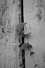 Vine on Painted Wood (pjpink) Tags: rustic abandoned overgrown blackandwhite bw monochrome uncolored colorless littlewashington washington virginia july 2019 summer pjpink 2catswithcameras