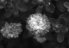 More Than A Feeling (Tomás Hornos) Tags: d7100 primavera spring springtime flor flowers jardín blancoynegro blackandwhite blackwhite