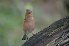 Chaffinch (TrishaM56) Tags: chaffinch birds nature november